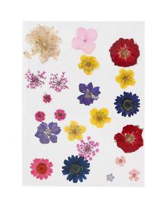 Pressade blomor, mixade färger, 1 förp.